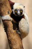 Sifaka de Coquerel (Lemur) Photos stock