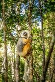 Sifaka de Diademed que aferra-se a uma árvore em Madagáscar Fotografia de Stock