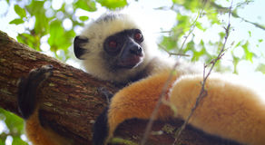 Sifaka Royalty Free Stock Photography