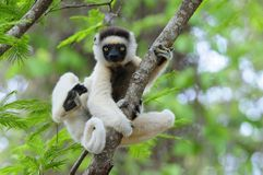sifaka lemur танцы стоковые изображения