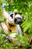 Sifaka Lemur in green foliage Stock Image