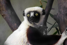Sifaka Royalty Free Stock Photo