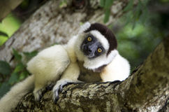 Sifaka lemur, Madagascar. Silky sifaka (Propithecus candidus) is a large lemur characterized by long, silky white fur. It has a very restricted range in