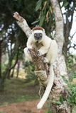 Sifaka lemur in a tree. A Sifaka lemur in a tree in park Royalty Free Stock Images