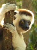Sifaka maki i Madagascar Arkivbilder