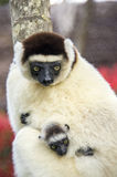 Sifaka maki, Madagascar Arkivbild