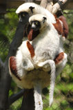 Sifaka Stock Photos