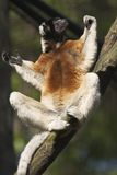 Sifaka s'exposant au soleil Photo stock