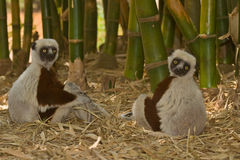 Sifakas royalty free stock image