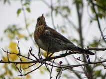 Sifflement d'oiseau se reposant sur une branche Les oiseaux alimentent sur le fruit de sorbe en automne D?tails et plan rapproch? image stock