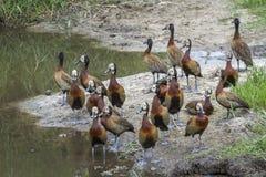 Siffler-canard fait face blanc en parc national de Kruger, Afrique du Sud photos stock