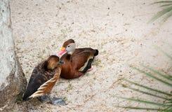 Siffler-canard fauve (dendrocygna bicolore) et siffler-canard Noir-gonflé (autumnalis de dendrocygna) Photo libre de droits