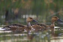 Siffler-canard fauve photo stock