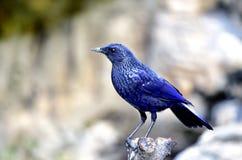 Siffler-Grive bleue Photos libres de droits