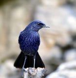 Siffler-Grive bleue Images libres de droits