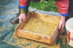 Sifting the grain through the sieve by hand Royalty Free Stock Images