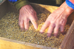 Sifting the grain through the sieve by hand Stock Photo