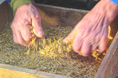 Sifting the grain through the sieve by hand Stock Photography