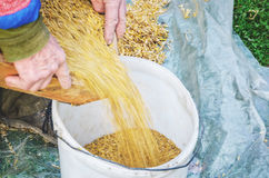 Sifting the grain through the sieve by hand Stock Photos