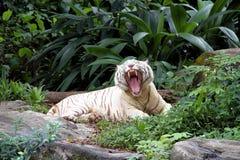 λευκό τιγρών της Βεγγάλη&sig Στοκ φωτογραφίες με δικαίωμα ελεύθερης χρήσης