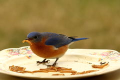 Sig. Il pranzo dell'uccellino azzurro Immagine Stock