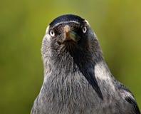 Sig. Monedula di corvo Immagini Stock Libere da Diritti