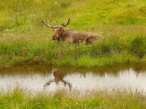Sig. Moose Fotografia Stock