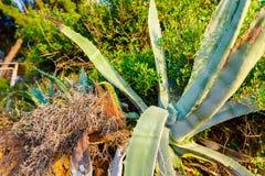 Sig.na dell'una foglia della pianta di Vera dell'aloe Fotografia Stock Libera da Diritti