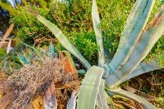 Sig.na dell'una foglia della pianta di Vera dell'aloe Fotografia Stock