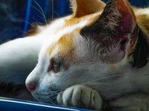 Sig.na molto Stile di vita degli animali svegli del gatto Immagine Stock Libera da Diritti
