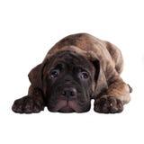 Sig.na o mi perdonate il concetto con il cucciolo nero Immagini Stock