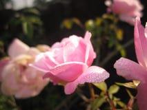 Sig. Perfezioni di rosa fotografia stock libera da diritti