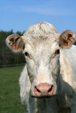 Sig.ra Moo Cow fotografia stock