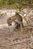 sig själv leopardaning Arkivfoton