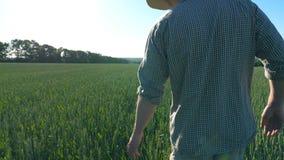Siga al granjero joven irreconocible que camina a través del campo de cereal y de los oídos verdes conmovedores del trigo el día  metrajes