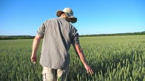 Siga al granjero joven irreconocible que camina a través del campo de cereal y de los oídos verdes conmovedores del trigo el día  almacen de metraje de vídeo