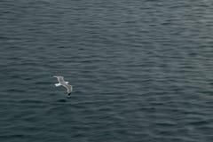 Siga a gaivota Foto de Stock