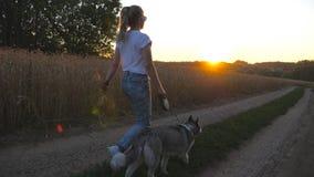 Siga a la chica joven que sostiene tallos de oro del trigo disponibles y que camina con su husky siberiano a lo largo del camino  metrajes