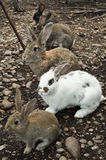 siga o coelho branco Fotos de Stock