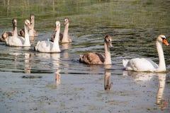 Siga o estilo da cisne do líder Fotografia de Stock Royalty Free