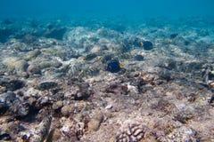 Siganidae et saveur à queue jaune sont sur le fond de la mer Image stock