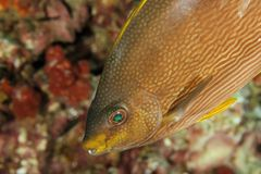 Siganus javus - Andaman Meer Lizenzfreie Stockfotografie