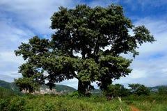 Sigaro caraibico dell'Unesco di Cuba Kuba della valle di Vinales Fotografie Stock
