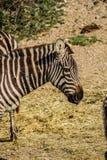 Sigean-Afrikaner-Reserve Stockbild