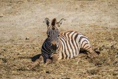 Sigean-Afrikaner-Reserve Stockfotos