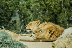 Sigean afrikansk reserv Royaltyfria Foton