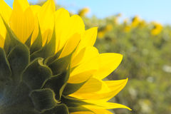 Sight from within. The sunflower lasts at the sun Stock Photo