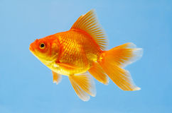 Sight of an aquarian small red fish. Goldenfish Royalty Free Stock Images