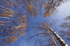 Sight from the bottom of autumn forest Royalty Free Stock Image