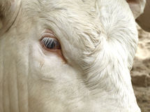 Sight of a bull Royalty Free Stock Images